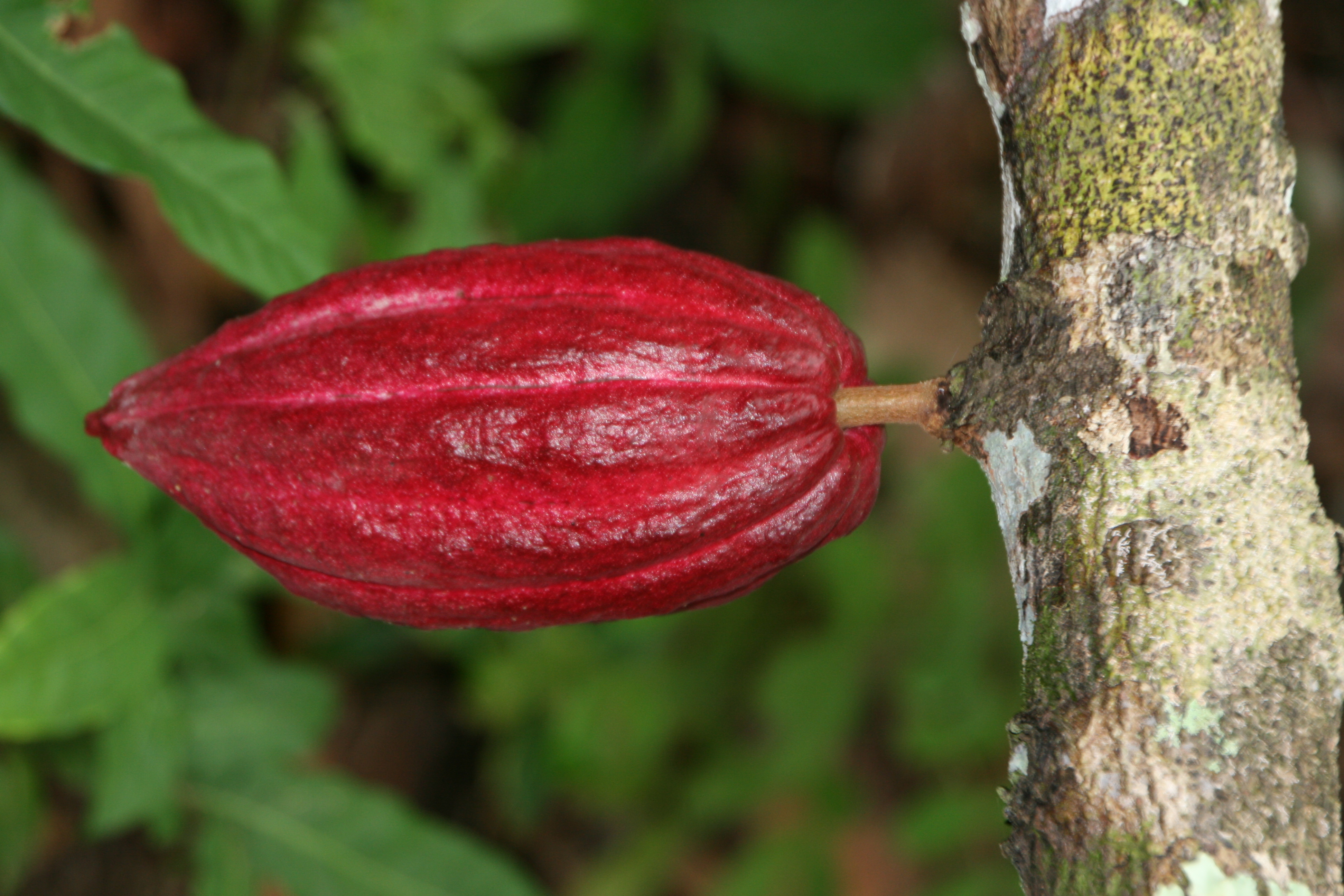 Kakao als Antioxidant, blutdrucksenkend